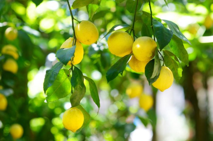 Lemons Zero Calorie Foods for Weight Loss