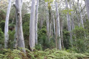 Eucalyptus/Gum Tree | Why Safeda Tree Banned or Restrict to Plant?
